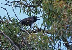 Forest Raven (James_Preece) Tags: panasoniclumixdcgh5 leicadgvarioelmar100400mmf4063 m43 otwayranges forestraven corvustasmanicus corvidae