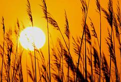 Heat (dianne_stankiewicz) Tags: hot heat sea oats sunset seaoats coastal plant sun nature beach coth5