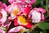 Maig_0062 (Joanbrebo) Tags: barcelona catalunya españa es park parque parc parccervantes garden jardí jardín rose rosa flors flores flowers fleur fiori blumen blossom canoneos80d eosd efs18135mmf3556is autofocus 17èconcursinternacionalderosesnovesdebarcelona