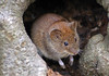 Rötelmaus (anubishubi) Tags: säuger säugetier kleinsäuger nager maus rötelmaus pentaxk100dsuper