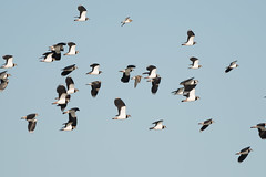 Cliffe Lapwing and Golden Plover