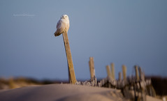 Snowy Owl NJ (stephenwalshphoto) Tags: