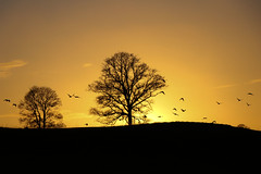 Evening Rush Hour (A Costigan (Off for a while)) Tags: sunset sundown sun sunlight sky gold silhouettes trees birds canon 80d outdoor nature