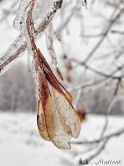 180221-06 Verglacé (clamato39) Tags: verglas ice glace nature hiver winter snow neige outside provincedequébec québec canada arbre tree seeds macro petit little