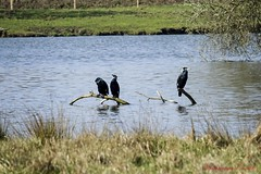 Cormorans (Ezzo33) Tags: france gironde nouvelleaquitaine bordeaux ezzo33 nammour ezzat explore explorer sony rx10m3 parc jardin oiseau oiseaux bird birds cormoran