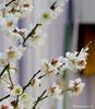 Japanese Apricot #3 (bluehazyjunem) Tags: japaneseapricot ume flower tree neighborhood
