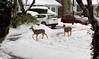 Doorstep 3 (beelzebub2011) Tags: canada britishcolumbia vancouver street deer snow