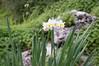 Ψίνθος (Psinthos.Net) Tags: ψίνθοσ psinthos nature countryside φύση εξοχή wildflowers wildflower flowers flower λουλούδια λουλούδι άνθη blossoms whiteblossoms λευκάάνθη άσπραάνθη κίτριναάνθη yellowblossoms narcissus νάρκισσοσ νάρκισσοσοκυπελλοφόροσ τσαμπάκι μυρσίτζια μυρσίτζι βράχοσ πέτρα stone rock shrub θάμνοσ greens χόρτα οξαλίδεσ sorrels ξυνιέσ ξυνάκια ξινάκια κίτριναλουλούδια yellowflowers fasouli φασούλι fasuli γύρη pollen απόγευμα απόγευμαχειμώνα afternoon january ιανουάριοσ γενάρησ χειμωνιάτικοαπόγευμα χειμώνασ winter