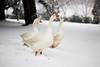 Le oche (letiziabianchi) Tags: oche aristogatti neve snow winter phtp photography canon love animals nature natura withe uccello albero acqua vita animali