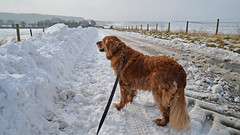 Rusty Boy leads the way.. (Harleynik Rides Again.) Tags: winter dog wiltshire snow salisburyplain nikondf harleynikridesagain