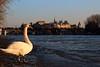 Paris - Pont des arts (Florian Gdy) Tags: swan cygne paris pont soleil sun seine water fleuve
