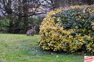 IMG_ 9500 Wild Rabbit (1 of 1)