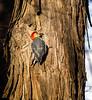 """S"" Move (Portraying Life, LLC) Tags: pentax k1 hd14tc da3004 woodpecker bird winter handheld nativelighting dbg6 michigan unitedstates"