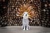 The Usherer of Fall (Kathryn Willis) Tags: loki dog canine schnauzer miniatureschnauzer whiteschnauzer beard headdress dogmodel petphotographer petphotography petportrait patientdog memphis memphisphotographer memphispetphotographer memphispetphotography highfashion diy magnolia magnolialeaves fall fallcolors woodpile commercialphotography