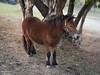 P6380591sz Pony (FlashLion) Tags: pony horse fujian 35mm lens dof bokeh test f16