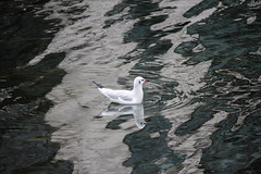 Mouette rieuse... (194/365)