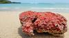 ... coral ... (wolli s) Tags: bali coral beach kutaselatan indonesien id