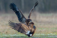 Fight Time (Mr F1) Tags: wild whitetailedeagles johnfanning nature outdoors europe poland squable squabbling fight fighting birds birdsofprey bop feathers detail woodland snow ice cold hightiso magpie escape eys talons forest