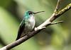 IMG_0670 Andean Emerald (suebmtl) Tags: bird birding ecuador mindo pichinchaprovince andeanemerald amaziliafranciae hummingbird