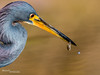 Tricolored Heron 005 (RRcoleJR Photography) Tags: 1 animalia ardeidae aves betterbeamer bokeh chordata close closeup dof egretta egrettatricolor flashextender godox godoxv860iio horsepenbayou houston hunting louisianaheron pelecaniformes texas tricoloredheron usa v860iio water alone ascend ascendh12 ascendoutdoors avian bay bayou bird feather feathers flash fx3 head headonly headshot hunter marsh marshland marshy narrowdof ocean predator profile river side sideview sideways single swamp swampland swampy