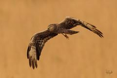 Albanella Minore (Polpi68) Tags: bird birds albanella falco falcon uccello nature