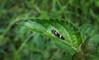 Macugonalia leucomelas (Cicadellidae) (Edson Roberto - Potim) Tags: cigarrinha macugonalialeucomelas cicadellidae