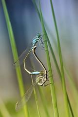 Ischnura elegans (karol.ox) Tags: invertebrate insect wildlife garden animal nature summer spring