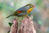 Usignolo del giappone (rubacolor) Tags: usignolo del giappone birds