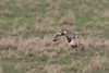Short Eared Owl-7162 (WendyCoops224) Tags: winterwatch 100400mml 80d fens canon eos ©wendycooper asio flammeus short eared owl