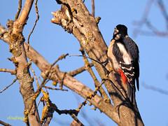 Pico picapinos (Dendrocopos major) (3) (eb3alfmiguel) Tags: aves pájaros carpintero piciformes picidae pico picapinos dendrocopos major