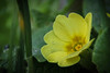 Yellow Flower (Floating Around With Ambition) Tags: flower yellow pretty alive plant