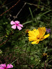 summer wild flowers_wish you a bright day (andreas sintenie) Tags: nature natural photo photograph picture capture sunlight light mood emotion feeling color colorful south africa flower flora colors yellow pink orange purple green wild wildflower dof focus