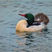 handsome merganser