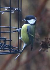 Great Tit (Treflyn) Tags: back garden great tit bird earley reading berkshire uk