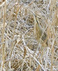 Bittern 2003 (Jeff Brough) Tags: jeffbrough idaho botauruslentiginosus bittern americanbittern swamp marsh cattails reeds