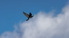 a black arrow cuts the sky in two parts (Franck Zumella) Tags: cormorant cormoran oiseau bird black noir sky blue ciel bleu cloud white nuage blanc nature composition fast fly flying vol voler rapide sony a7s a7 tamron 150600