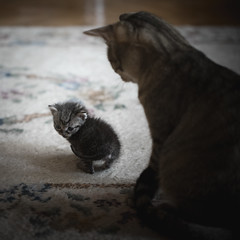Little Mac and Minja (Katarina Drezga) Tags: cats cat catphotography domesticcat petphotography pets feline felines nikond750 tamron70200vcg2 kittens kitten