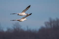 20180220-159 (Dustin Graffa) Tags: animals birds middlecreek places snowgeese snow geese migration spring bird birdinflight pennsylvania canon tamron 150600
