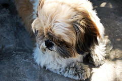 Just my dog !!! (François Tomasi) Tags: dog shihtzu reflex nikon pointdevue pointofview pov françoistomasi tomasiphotography lights light lumière france french iso filtre digital numérique photo photographie photography photoshop europe justedutalent lanouvellerépublique animal yahoo google flickr février 2018