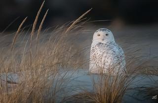 Snowy Owl in Long Island