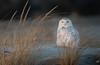 Snowy Owl in Long Island (jgaosb) Tags: snowy owl long island new york bird