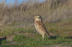 Burrowing Owl (Khanh B. Tran) Tags: