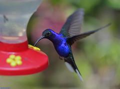Blue Hummingbird. (Carlos Arriero) Tags: monteverde costarica colibríazul colibrí hummingbird blue ave pájaro bird nature naturaleza natgeo vida life dof bokeh carlosarriero color colors colour nikon d800e nikkor 105mm28