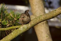 IMG_5247 (Lightcatcher66) Tags: spatzensparrows florafauna makros lightcatcher66