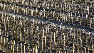 Ein Mais-Acker im Januar; Bergenhusen, Stapelholm (20)