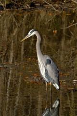 Great blue heron, Ardea herodias watching for fish (John's Love of Nature) Tags: greatblueheron ardeaherodias johnkelley