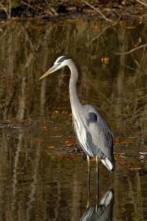 Great blue heron, Ardea herodias watching for fish