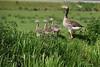 ArnoldBuijsDSC11160 (Harnoldavidson) Tags: animal dieren ganzen greylaggoos