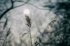 CAM 1.4 (Svendborgphoto) Tags: bokeh nikkor nikkorais dof sonya7ii sonyalpha 85mm14 f14 winter sun denmark svendborgphoto hirschsoerensen flare light