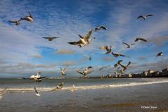 La danse des mouettes (didier95) Tags: mouette oiseau stmalo bretagne plage mer paysage ciel bleu